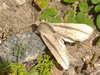 Cyanopepla orbona