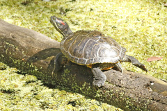 Tortuga orejas rojas/Red-eared Turtle