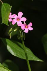 Vinagrillo/Pink sorrel