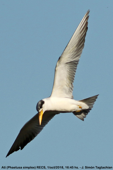 Atí/Large-billed Tern