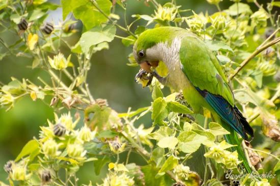 Cotorra-malvavisco/Parakeet-mallow