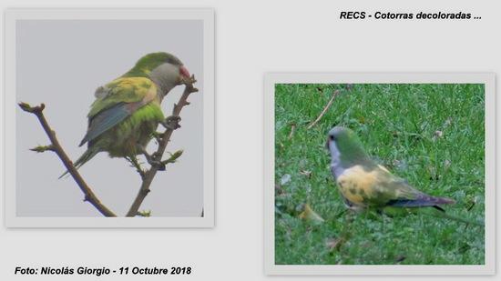 Cotorra/Monk Parakeet