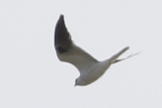 Milano blanco/White-tailed Kite