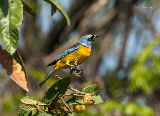 Naranjero/Blue-and-yellow Tanager