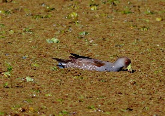 Pollona pitnada/Spot-flanked Gallinule