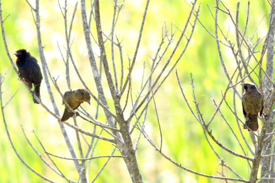 Varillero congo/Chestnut-capped Blackbird