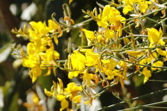 Retama/Spanish broom