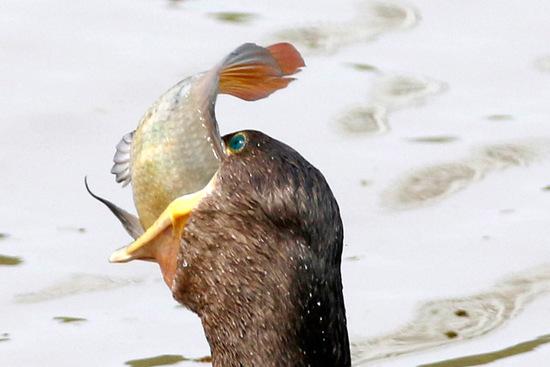 Biguá/Neotropic Cormorant