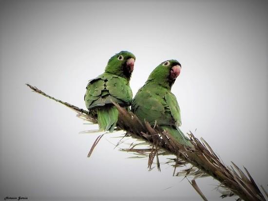 Clancate ala roja/White-eyed Parakeet