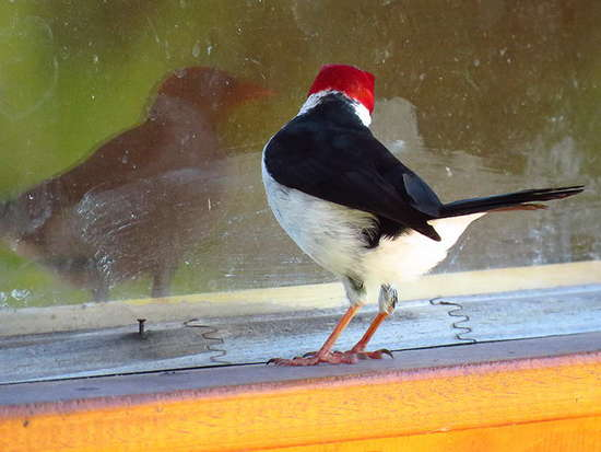 Cardenilla/Yellow-billed Cardinal