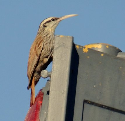 Chinchero chico/Narrow-billed Woodpecreeper