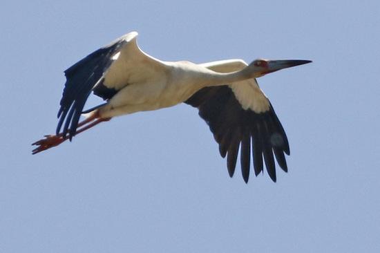 Cigüeña americana/Maguari Stork