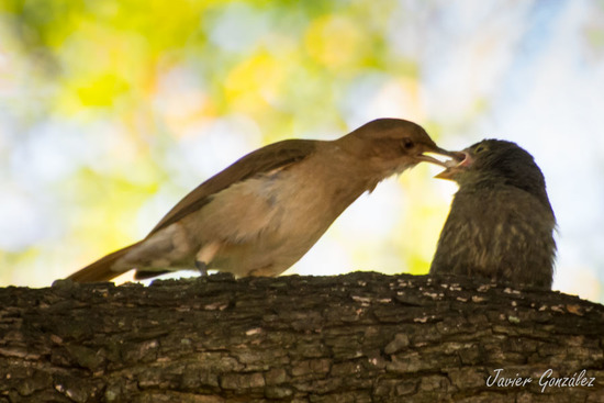 Hornero-Tordo renegrido/Hornero-Shiny Cowbird