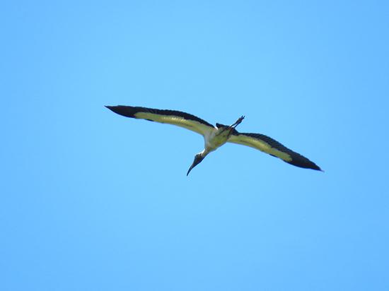 Tuyuyú/Wood Stork