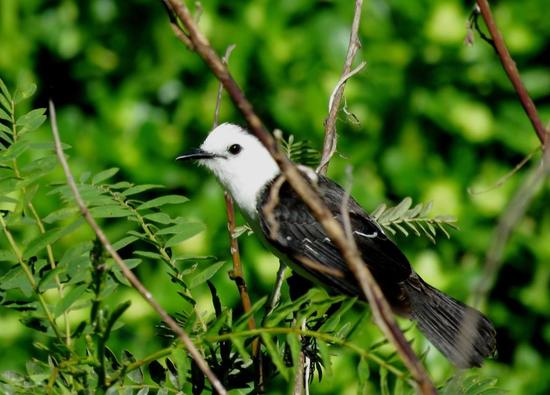 Viutdita blanca/Black-backed Water-Tyrant