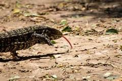 Lagarto overo/Black-and-white- Tegu Lizard
