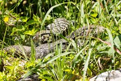 Lagarto overo/Black-and-white- Tegu Lizard