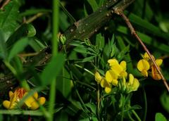 Trébol pata de pájaro/Narrow-leaved bird's foot trefoil