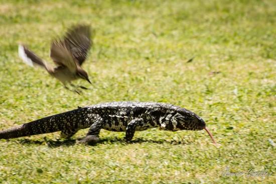 Calandria-lagarto/Mockingbird-Tegu Lizard