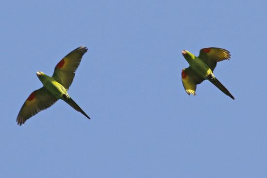 Calancata ala roja/White-eyed Parakeet