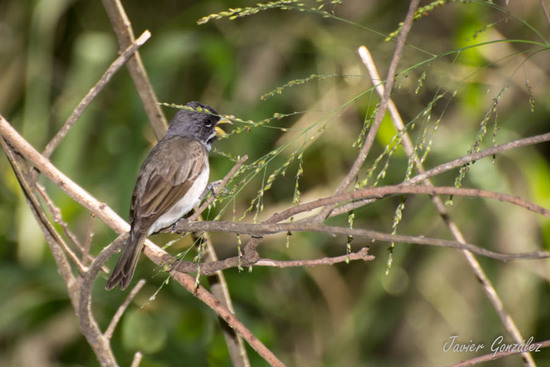 Corbatita común/Double-collared Seedeater