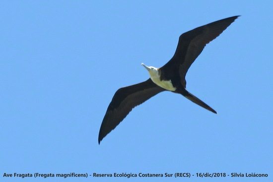 Ave fragata/Magnificent Frigatebird