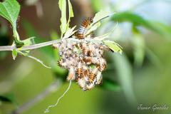 Oruga de Perezosa/Lazy caterpillar