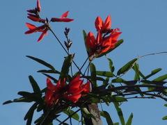 Isipó colorado/Camptosema rubicundum