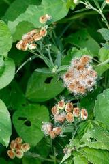 Lucera/Wing-stemmed camphorweed
