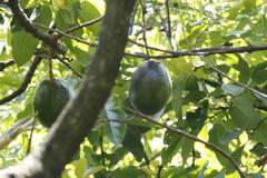 Palto/Avocado tree