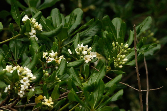 Azarero/Japanese pittosporum