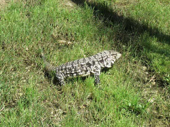 Lagarto overo/Black-and-white Tegu lizard