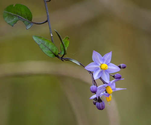 Solanum boerhaviifolium