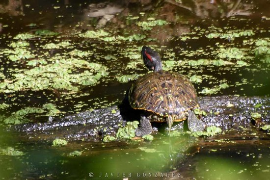 Tortugas orejas rojas/Red-eared turtle