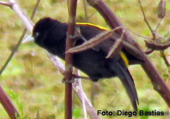 Boyero ala amarilla/Golden-winged Cacique