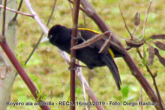 Boyero ala amarilla/Golden-winged Cacique