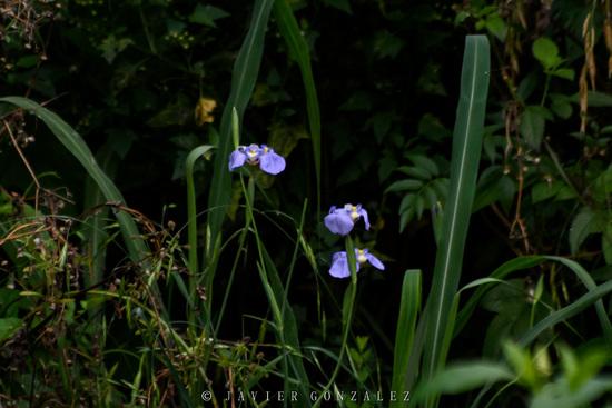 Lirio celeste/Goblet flower