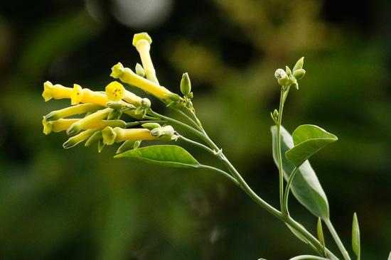 Palán palán/Tree tobacco