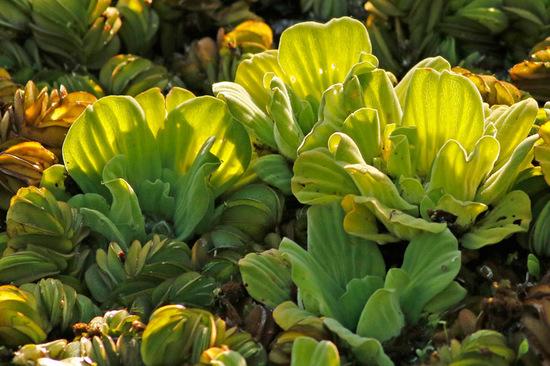Repollito de agua/Water lettuce