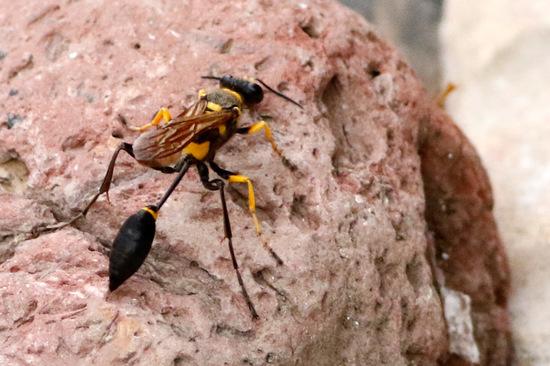 Avispa alfarera/Mud-dauber wasp