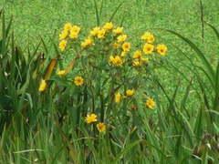Flechilla/Large bur-marigold
