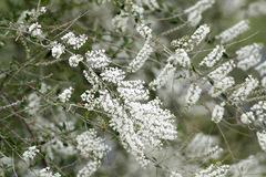 Cedrón del monte/White brush