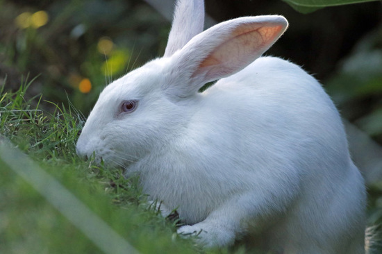 Conejo/Rabbit