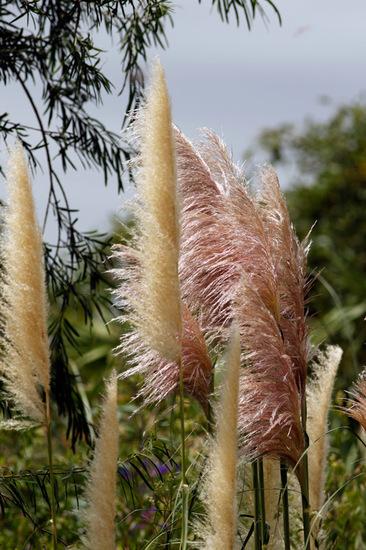 Cortadera/Pampas grass