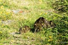Cuis grande/Brazilian Guinea pig