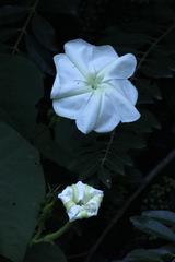 Dama de noche/Moonflower