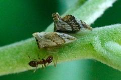 Membrácido/Treehopper