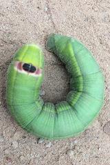 Gusano de la yuca/Ello Sphinx caterpillar