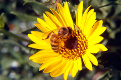 Abeja/Honey bee