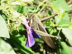 Langosta de líneas claras/Yellow-lined Grasshopper